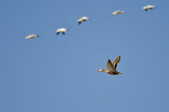 Mallard Duck Flying with the Snow Geese in a Blue Sky Stock Photo