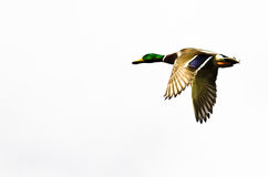 Mallard Duck Flying su un fondo bianco fotografie stock libere da diritti