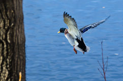 Mallard Duck Flying to the Lake Stock Photos