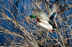 Mallard Duck Flying to the Lake Royalty Free Stock Photos