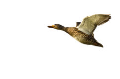Mallard Duck Flying on a White Background Royalty Free Stock Image