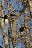 Mallard Duck Flying Through the Woods. Pair of Mallard Duck Flying Through the Woods Stock Photos