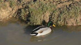 Mallard duck foraging stock video