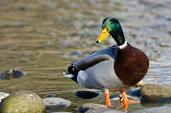 Mallard Duck Foraging at the Side of a River. Male Mallard Duck Foraging at the Side of a River Royalty Free Stock Photos
