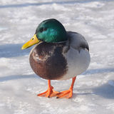 Mallard Duck on Frozen Lake. A full length shot of a male mallard duck standing on a frozen lake – square image Stock Image