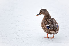 Mallard duck on a frozen lake Stock Photography