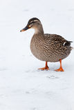 Mallard duck on a frozen lake. Mallard duck walking on a frozen lake, pausing to look back at the viewer Royalty Free Stock Photography