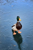 Mallard duck on a frozen lake Stock Photo