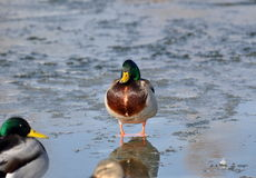 Mallard duck in glassy water. Royalty Free Stock Image