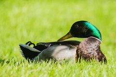 Mallard Duck in the Grass. Close up shot of a a mallard duck lying in the grass Royalty Free Stock Images