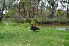 Mallard duck on grass royalty free stock photos