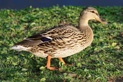 Mallard Duck in the Grass. A Mallard duck walks through the grass along the edge of a pond. These brown ducks can be found in both urban and rural waters Stock Photo