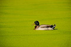Mallard duck in a green algae pond. Algae covers a pond and part of a duck Stock Images