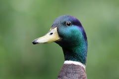 Mallard Duck. A Mallard Duck with a green background Stock Images
