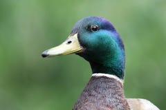 Mallard Duck. A Mallard Duck with a green background Stock Photo