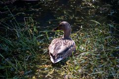 Mallard Duck Green Grass Lake. Water Royalty Free Stock Photography