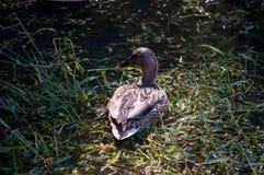 Mallard Duck Green Grass Lake Royalty Free Stock Photography