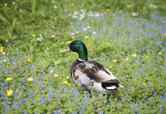Mallard duck in green grass surrounded by flowers. Image of a male mallard duck in green grass surrounded by flowers Stock Image