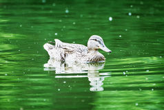 Mallard duck in the green water, natural scene Royalty Free Stock Image