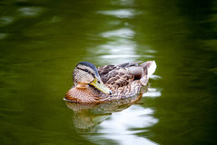 Mallard duck on the green water. Mallard duck swimming on the green water Royalty Free Stock Images