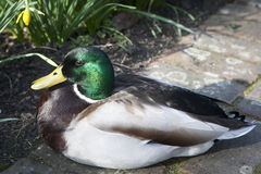 Mallard duck. On the ground Royalty Free Stock Image
