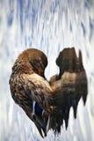 Mallard duck, Heart of the Wild. Mallard duck on the lake Stock Image