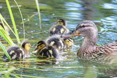 Mallard Duck Hen And Her Ducklings Stock Photography