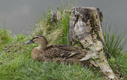 Mallard duck hen. A hen mallard duck with brown feathers in nest (Anas platyrhynchos Stock Photo