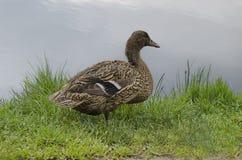 Mallard duck hen Stock Image