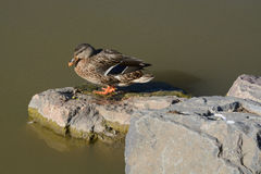 Mallard duck hen. Mallard duck drake standing on rocks at edge of lake Stock Image