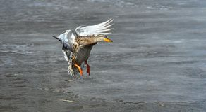 Mallard Duck Hen. Flying onto frozen pond Stock Images