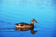 Mallard Duck Hen on Lake. A Mallard duck hen swimming on a blue lake Stock Photo