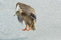 Mallard Duck Hen Stock Photography