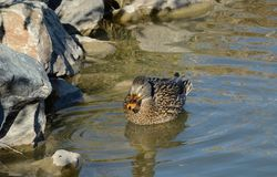 Mallard duck hen. Resting in lake close to rocky bank as shield from wind Royalty Free Stock Photography