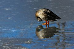 Mallard Duck Hen. Standing on ice of frozen pond and preening chest feathers Royalty Free Stock Photos