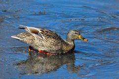 Mallard Duck Hen Stock Images