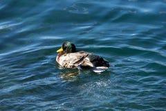 Mallard duck. Swimming on pond Stock Photos