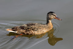 Mallard Duck (Hen). The Mallard or Wild Duck (Anas platyrhynchos) is a dabbling duck which breeds throughout the temperate and subtropical Americas, Europe, Asia Stock Photography