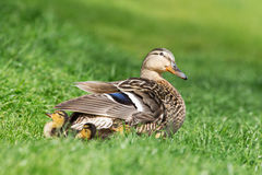 Mallard duck with her clutch of ducklings. Mallard duck and her clutch of ducklings, close-up Royalty Free Stock Images