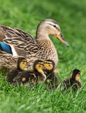 Mallard duck with her clutch of ducklings. Mallard duck and her clutch of ducklings, close-up Stock Images
