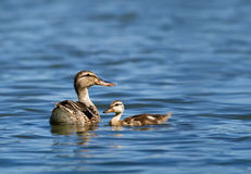 Mallard duck and her duckling. Female Mallard duck (Anas platyrhynchos) and her duckling swimming in the lake Stock Photo