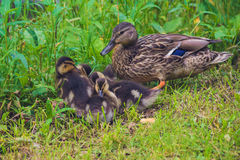 Mallard Duck with her Duckling. Mother duck with her ducklings. female duck with small duckling grazing in the grass Stock Photography