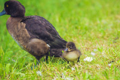 Mallard Duck with her Duckling. Mother duck with her ducklings. female duck with small duckling grazing in the grass Royalty Free Stock Photography