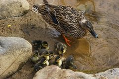 Mallard Duck and Her Ducklings. Along the edge of the Doe River a mother mallard stands with her brood of ducklings stock photo