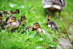 Mallard duck. And her ducklings on bank of river royalty free stock photography