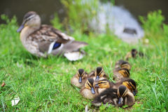 Mallard duck. And her ducklings on bank of river stock images