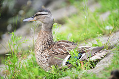 Mallard duck. And her ducklings on bank of river royalty free stock photos