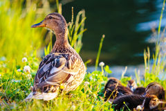 Mallard duck and her ducklings on bank of river Stock Photo