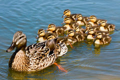 Mallard Duck with her Ducklings. Momma Mallard Duck swims with her Ducklings Royalty Free Stock Photo