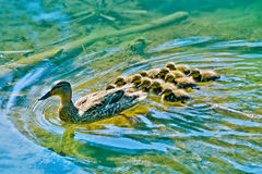 Mallard Duck with her Ducklings. Mallard Mother Duck with her Ducklings on a lake Royalty Free Stock Photo